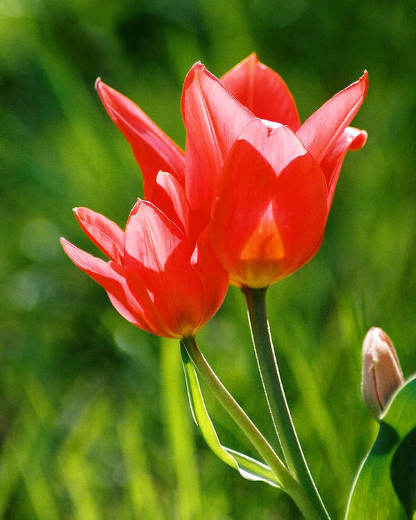 Flowers Poster featuring the photograph Toronto Tulip by Steve Karol