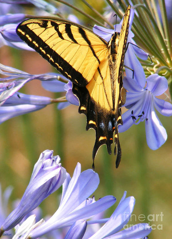 Butterfly Poster featuring the photograph Touching Lilly by Gail Salitui