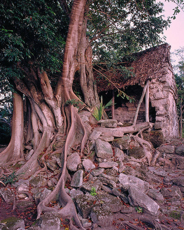Tree Poster featuring the photograph Tree And Ruins In Cozumel by Thomas Firak