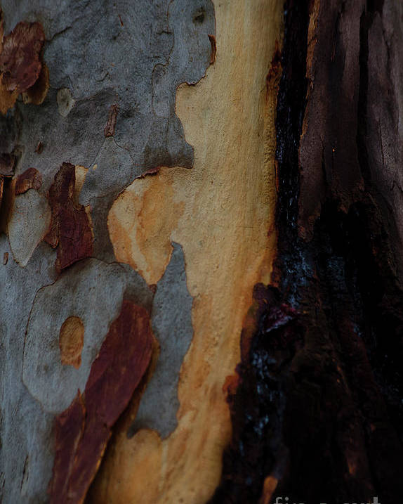 Tree Poster featuring the photograph Tree Bark Collection # 52 by Philip Johnson