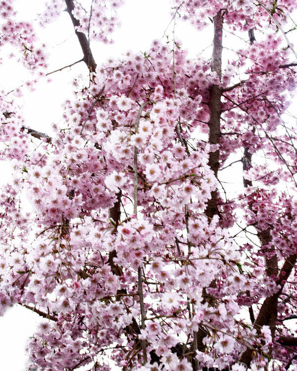 Tree Poster featuring the photograph Tree Flowering In Spring by Robin Lynne Schwind