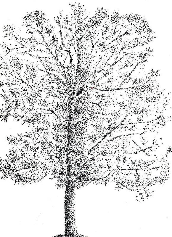Tree Poster featuring the drawing Tree by Kevin Callahan