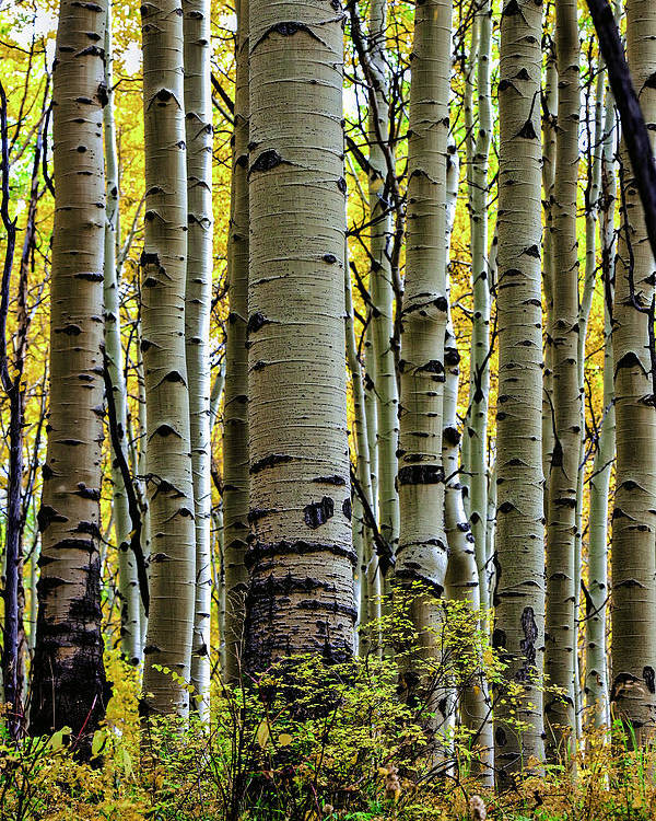 Colorado Poster featuring the photograph Trees For The Forest by Jennifer Grover
