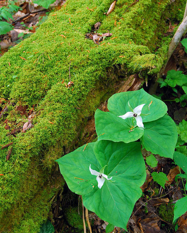 Trillium Poster featuring the photograph Trillium Pair By Mossy Log by Alan Lenk