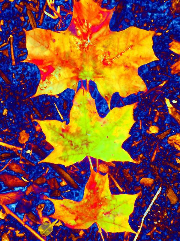 Maple Poster featuring the photograph Trio by Beth Akerman