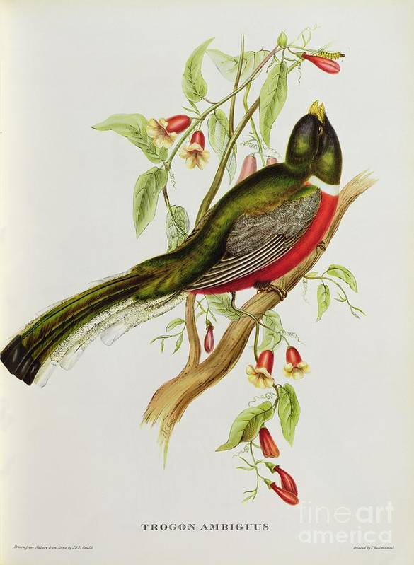 Trogon Poster featuring the painting Trogon Ambiguus by John Gould