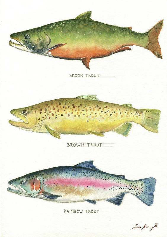 Brook Trout Poster featuring the painting Trout species by Juan Bosco