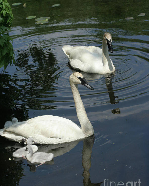 Trumpeter Swans Poster featuring the photograph Trumpeter Swans by Judy Whitton