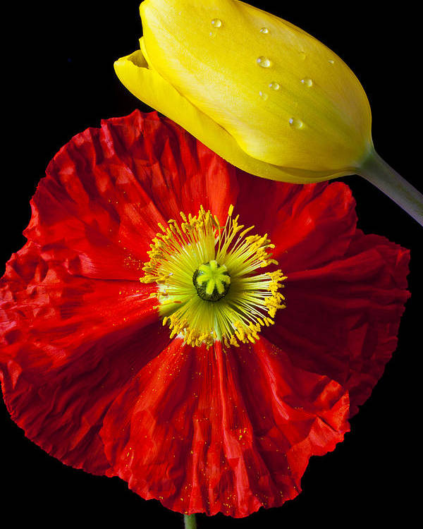 Yellow Poster featuring the photograph Tulip And Iceland Poppy by Garry Gay
