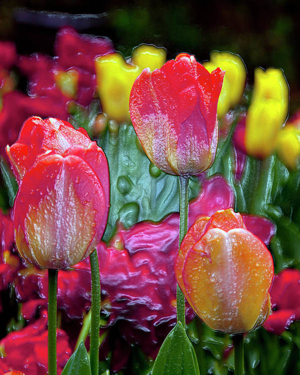 Tulips Poster featuring the digital art Tulip Candy by Don Wright