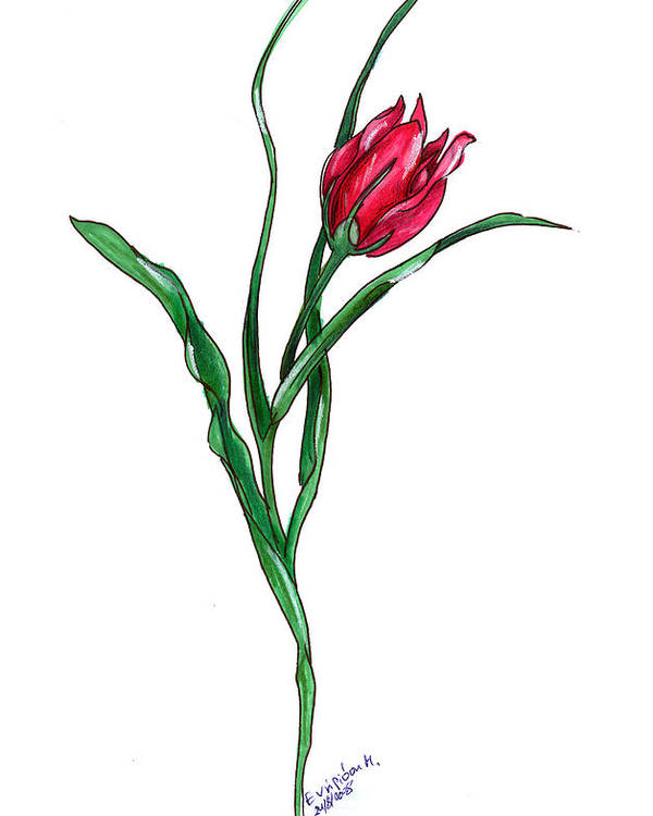 Tulip Poster featuring the drawing Tulip Illustration by Maria Evripidou