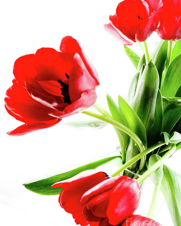 Red Poster featuring the photograph Tulips by Kathryn Goddard