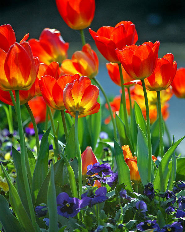 Flowers Poster featuring the photograph Tulips by Robert Meanor