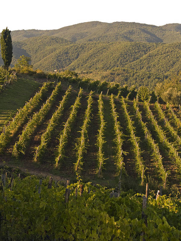 Tuscany Poster featuring the photograph Tuscan Vineyards At Sunset by Jim DeLillo