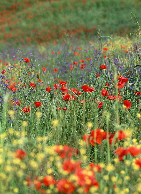 Flowers Poster featuring the photograph Tuscan Wildflowers by Michael Hudson