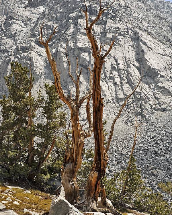 Tree Poster featuring the photograph Twin Sticks by Kelley King