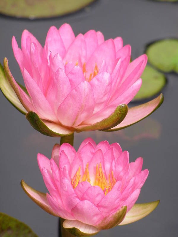 Water Lily Poster featuring the photograph Twins In Pink by Larry Lacy