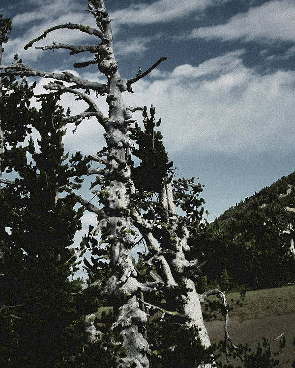 Pines Poster featuring the photograph Twisted Whitebark Pine Tree - Crater Lake - Oregon by Christine Till