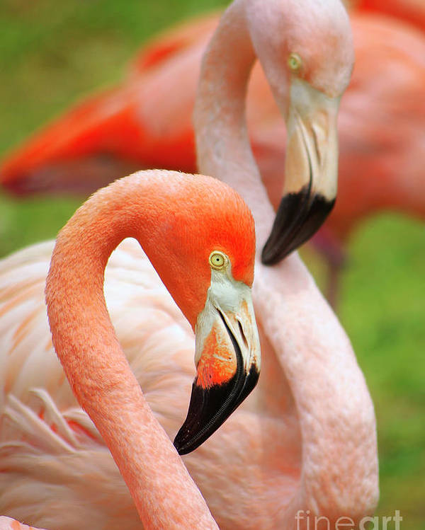 Acrobat Poster featuring the photograph Two Flamingoes by Carlos Caetano