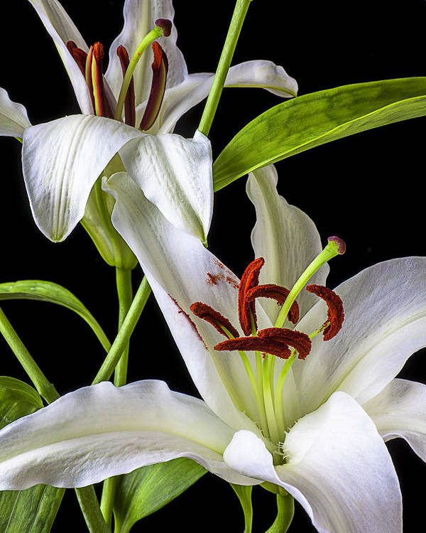 White Tiger Lily Poster featuring the photograph Two Wonderful Lilies by Garry Gay