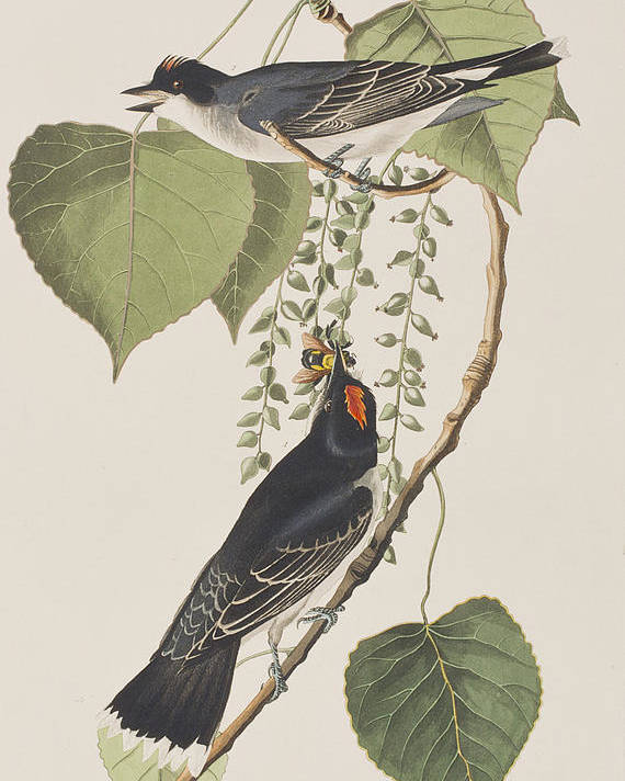 Tyrant Fly Catcher Poster featuring the painting Tyrant Fly Catcher by John James Audubon