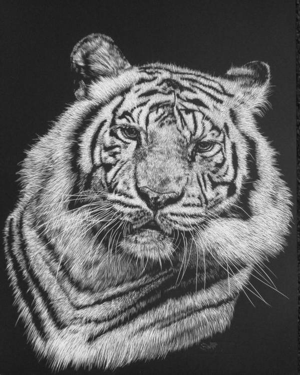 Tiger Poster featuring the drawing Variance by Barbara Keith