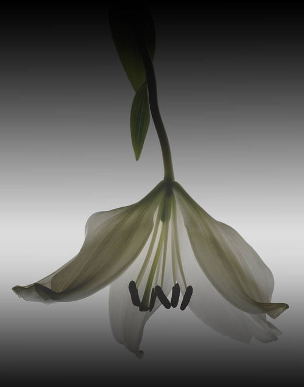 Floral Poster featuring the photograph Veiled Lily by Marsha Tudor