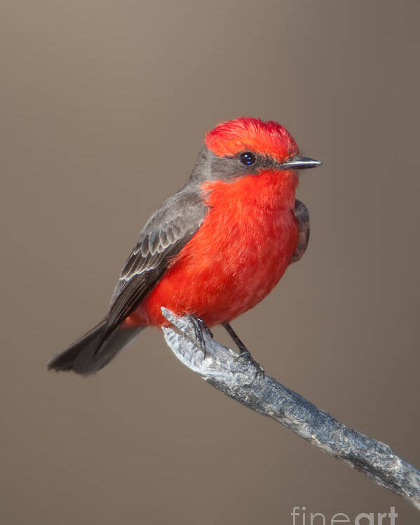 Clarence Holmes Poster featuring the photograph Vermilion Flycatcher by Clarence Holmes