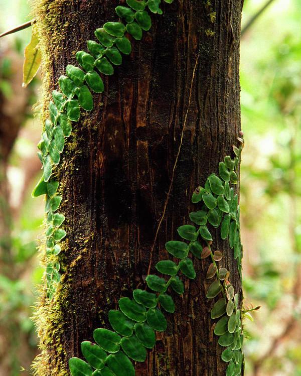 Vining Fern Poster featuring the photograph Vining Fern On Sierra Palm Tree by Thomas R Fletcher
