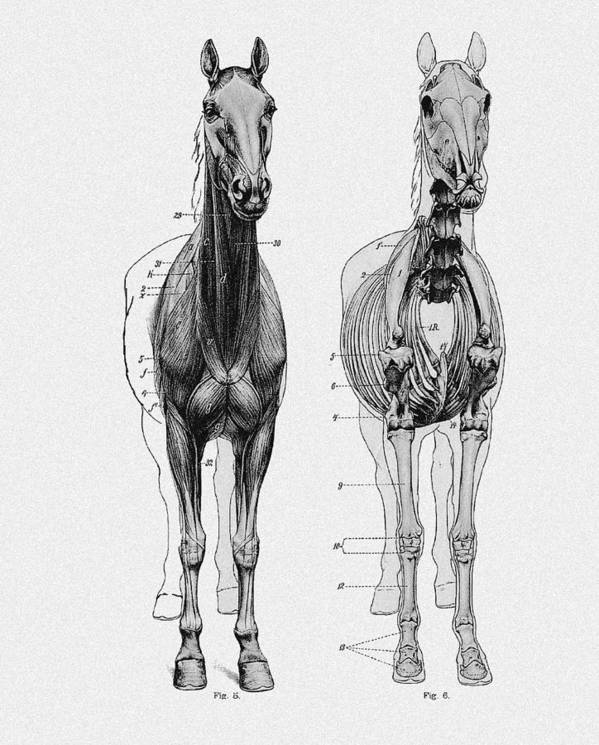 Vintage Horse Anatomy Scientific Illustration Poster by Sandra McGinley