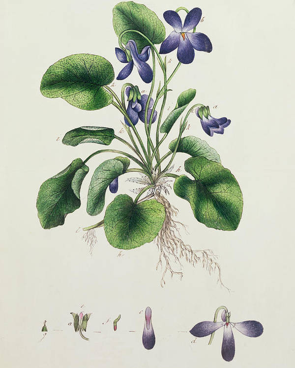 Flower Poster featuring the painting Violets by English School