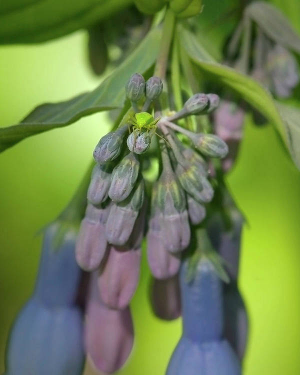 Beauty Poster featuring the photograph Virginia Bluebell Buds by Crystal Garner