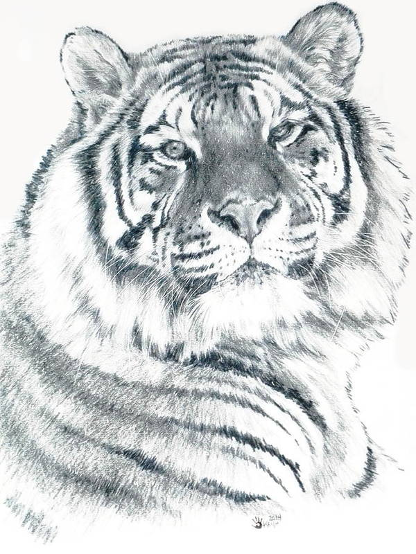 Tiger Poster featuring the drawing Voyager by Barbara Keith
