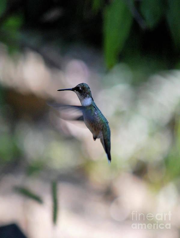 Hummingbird Poster featuring the photograph Waiting My Turn by Lori Tambakis