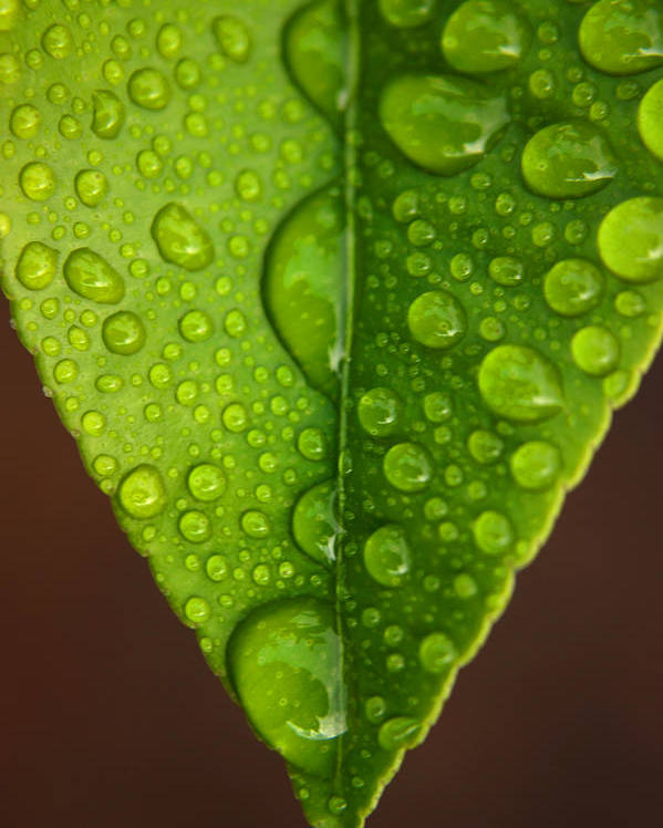 Leaf Poster featuring the photograph Water Droplets On Lemon Leaf by PIXELS XPOSED Ralph A Ledergerber Photography