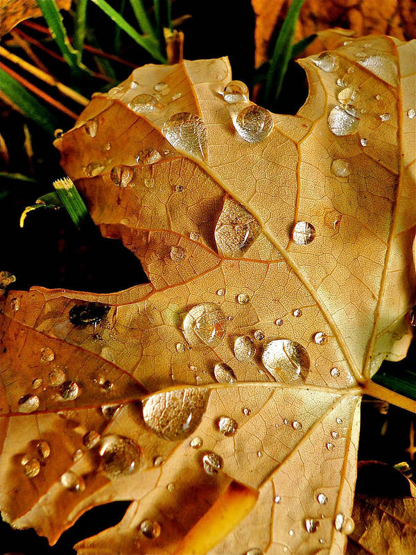 Leaves Poster featuring the photograph Water Drops by Liz Vernand