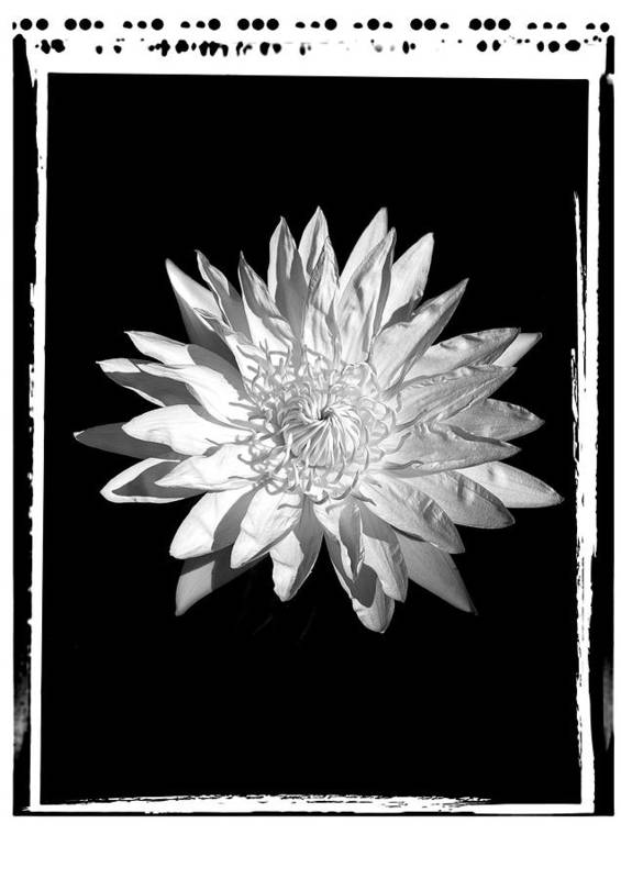 Water Lilly Flower Black White Poster featuring the photograph Water Lilly II by William Haney