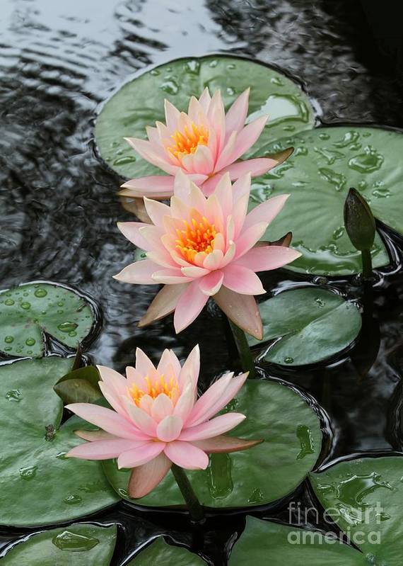 Water Lily Poster featuring the photograph Water Lily Trio by Sabrina L Ryan