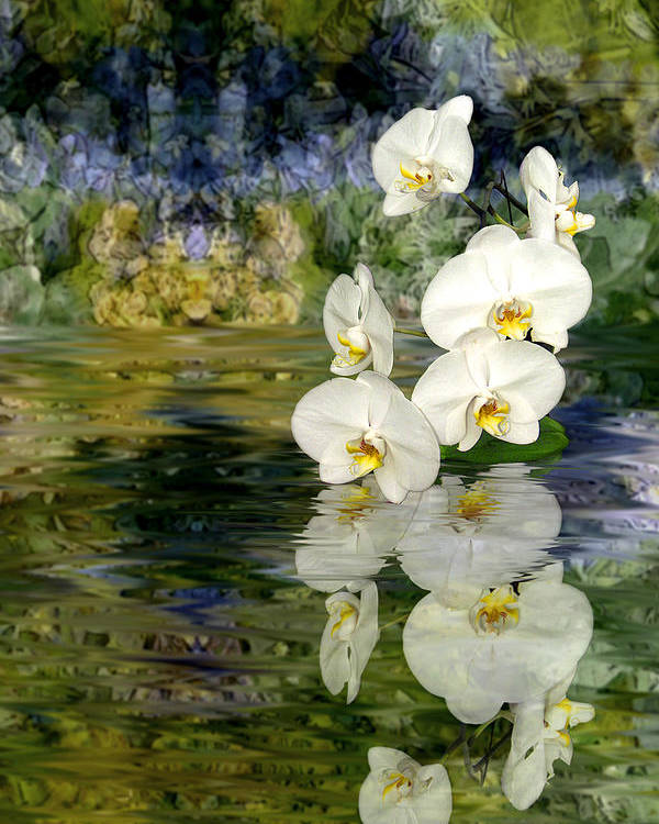 Orchid Poster featuring the photograph Water Orchid by Tom Romeo