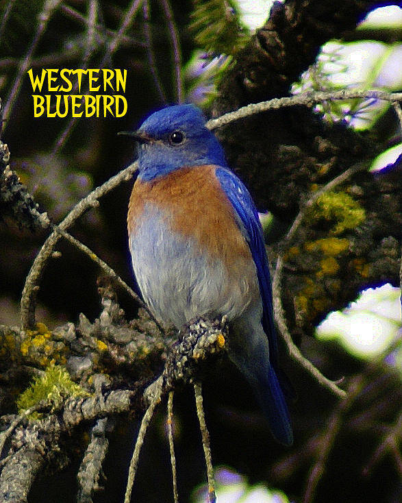 Birds Poster featuring the photograph Western Bluebird by Ben Upham III