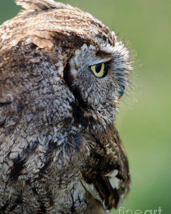 Owl Poster featuring the photograph Western Screech Owl by Steev Stamford