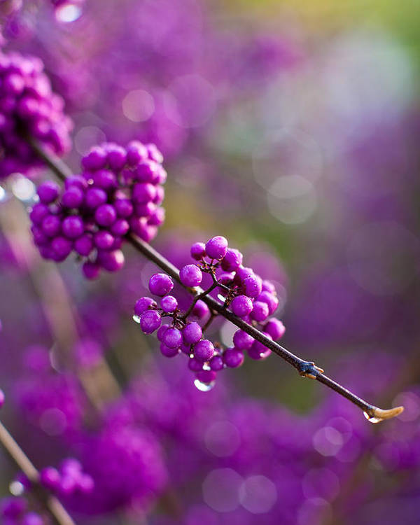 Beauty Berry Poster featuring the photograph Wet Purple 2 by Mike Reid