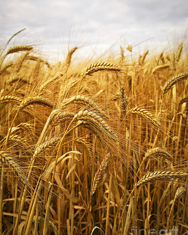 Wheat Poster featuring the photograph Wheat by Elena Elisseeva
