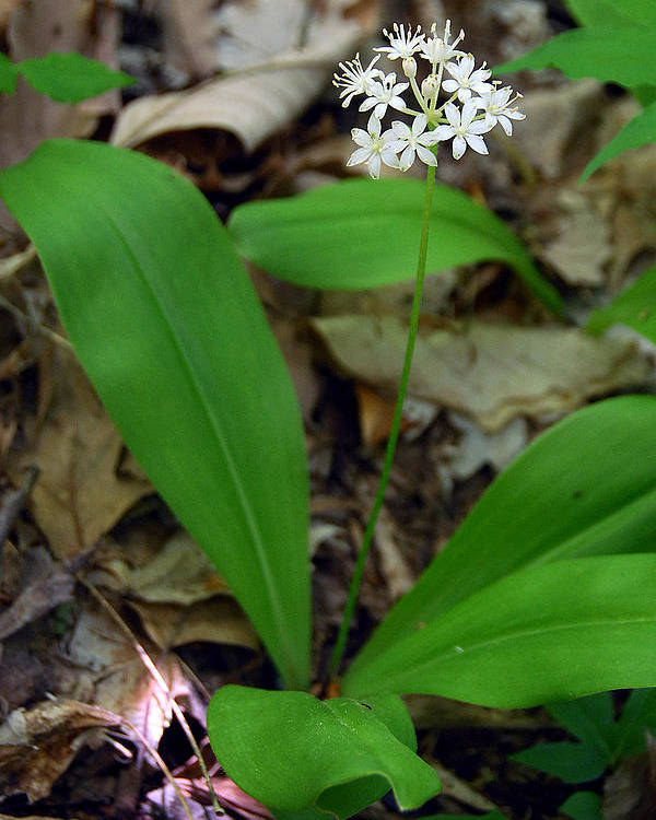 White Clintonia Poster featuring the photograph White Clintonia by Alan Lenk