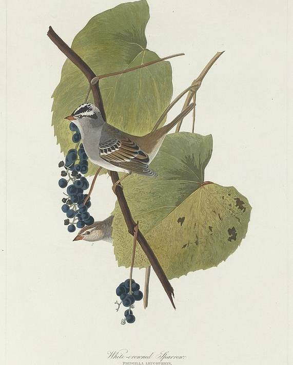 Audubon Poster featuring the drawing White-crowned Sparrow by Dreyer Wildlife Print Collections