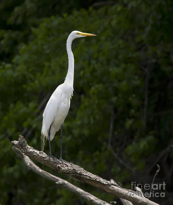 Bird Poster featuring the photograph White Egret-signed-#0493 by J L Woody Wooden