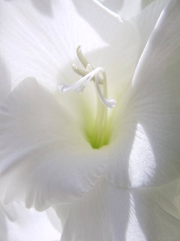 Gladiola Poster featuring the photograph White Gladiola Flower Macro by Jennie Marie Schell
