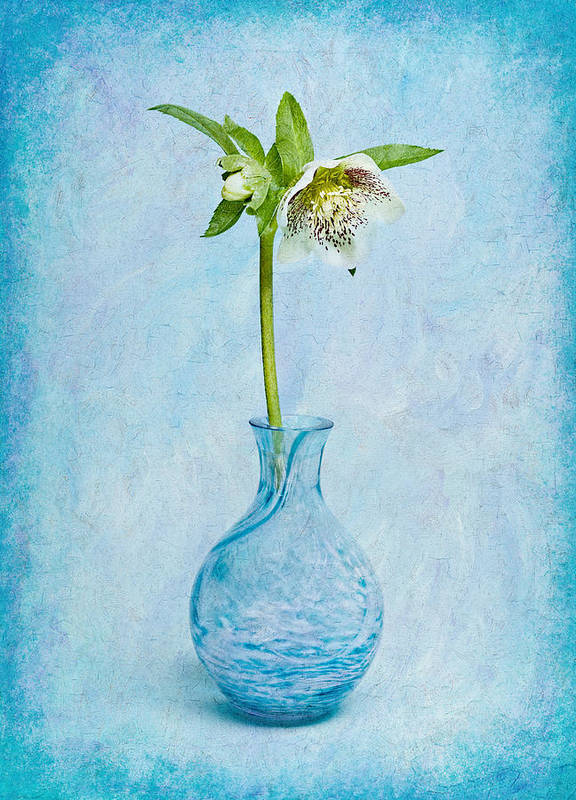 Christmas Rose Poster featuring the photograph White Hellebore by Michelle Whitmore