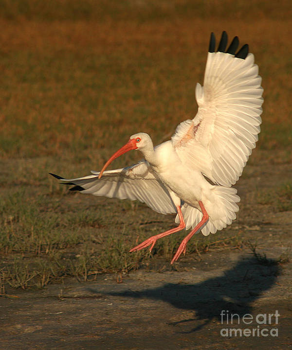 Ibis Poster featuring the photograph White Ibis Landing Upon Ground by Max Allen