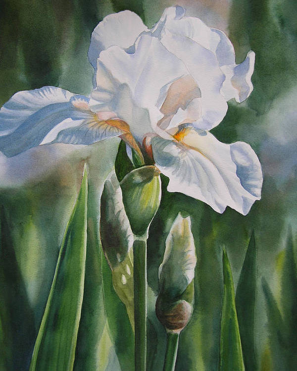 White Iris Watercolor Poster featuring the painting White Iris With Bud by Sharon Freeman